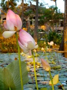 Water lilies @ Quiet