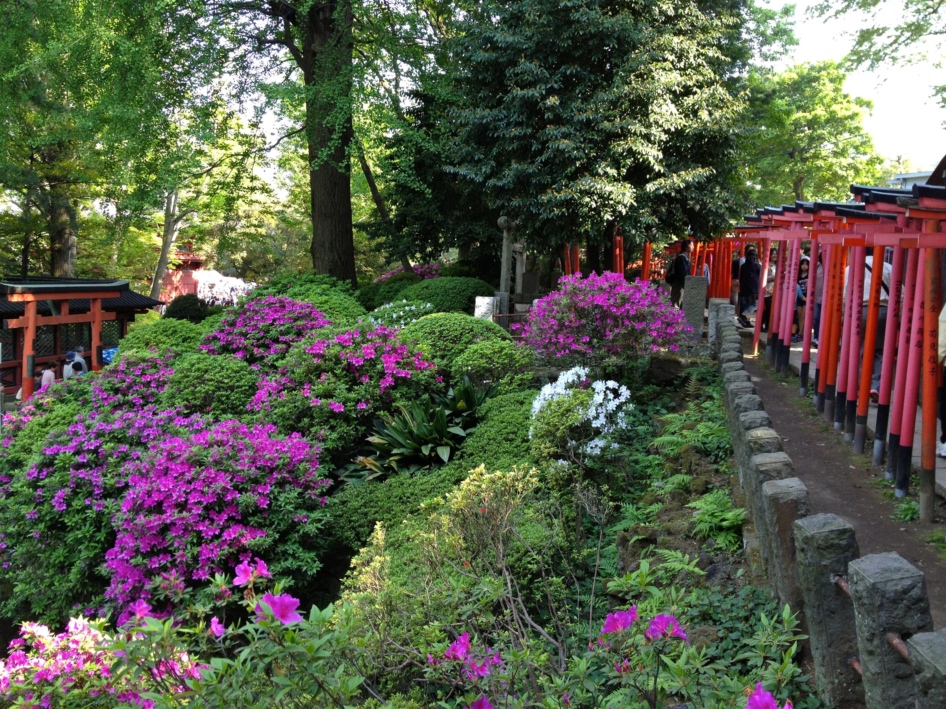 azalea festival at nezu shrine dream go live